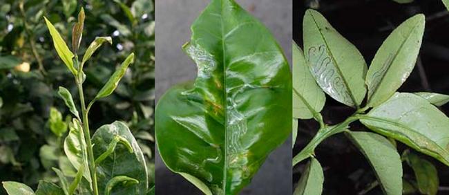 Citrus Leafminer infection: Pictures from UC Davis http://anrcatalog.ucdavis.edu/pdf/8321.pdf
