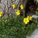 Buttercup oxalis flower, <i>Oxalis pes-caprae</i>.