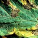 Tomato Early Blight Infection