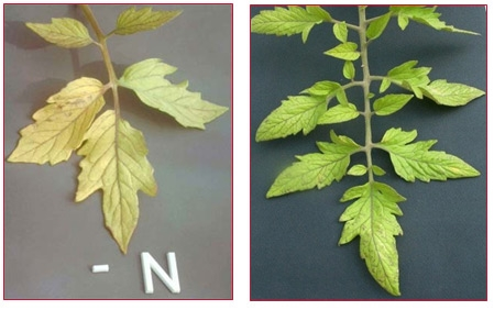 Characteristic nitrogen deficiency <br> pix: HaifaGroup
