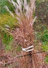 Pruning Ornamental Grass