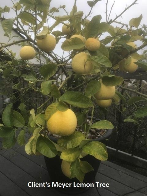 Meyer Lemons Too Hort Coco Uc Master Gardener Program