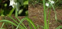 Three Cornered Leek for HOrT COCO-UC Master Gardener Program of Contra Costa Blog