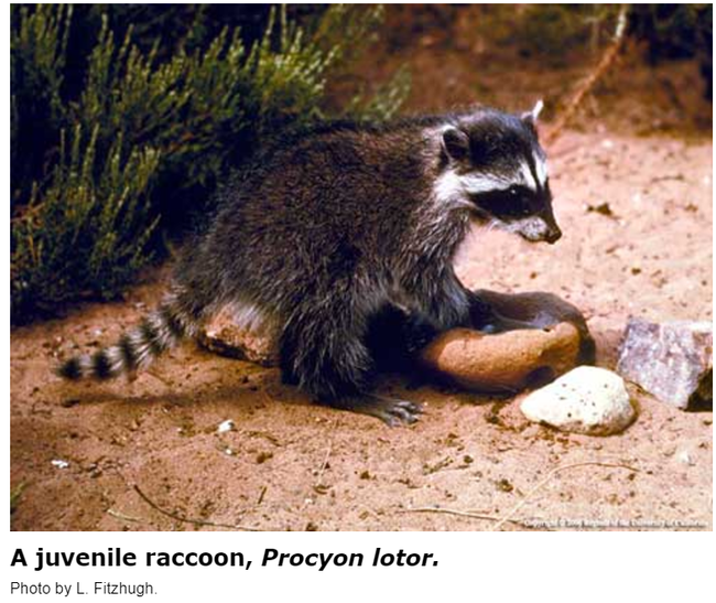 Juvenile Racoon