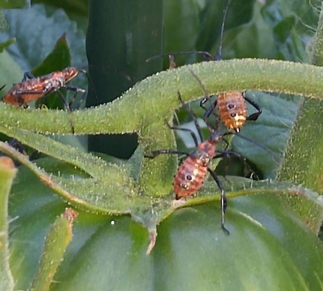 Leaffooted Bugs