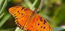 <b>Gulf Fritillary butterfly</b> for HOrT COCO-UC Master Gardener Program of Contra Costa Blog