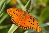 <b>Gulf Fritillary butterfly</b>