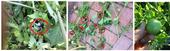 <center>Nightshade Berries (circled) & Mottled Tomato</center></b>