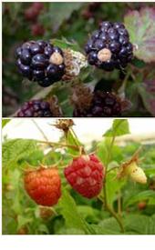 Blackberry and Raspberry<br>With White Drupelet Disorder