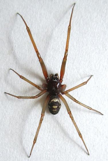 False Widow Spider<br>© 2016 Jim Moore @ bugguide.net