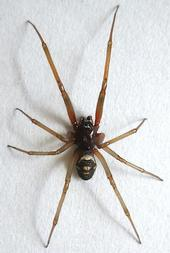 False Widow Spider<br>Copyright © 2016 Jim Moore <br>@ bugguide.net