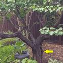 apricot tree with bark damage