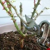 pruning rose