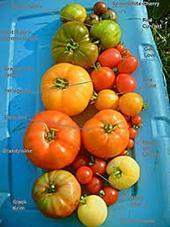 Assprted Summer Tomatoes