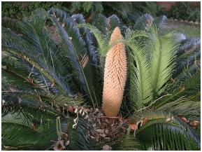 male sago palm