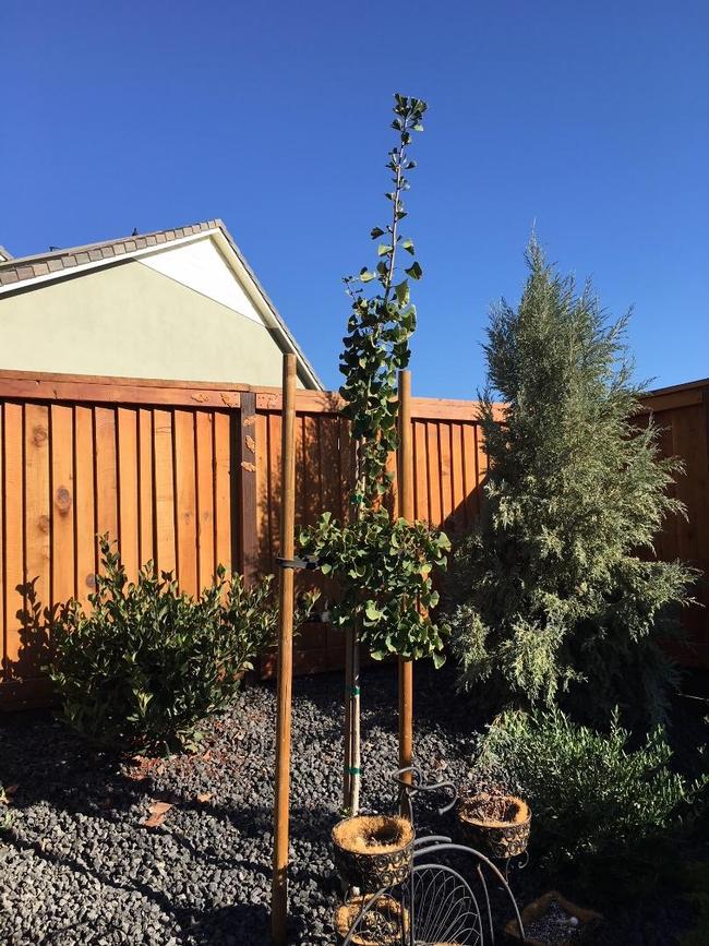 Ginkho Tree