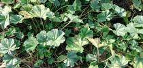mallow weed for HOrT COCO-UC Master Gardener Program of Contra Costa Blog