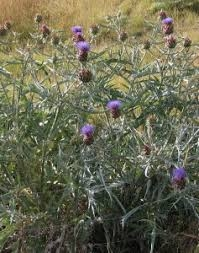 artichoke thistle (inedible invasive plant)