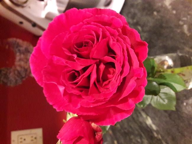 triple bud rose