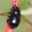 Little Carpenter Bee