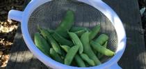 Snap Peas for HOrT COCO-UC Master Gardener Program of Contra Costa Blog