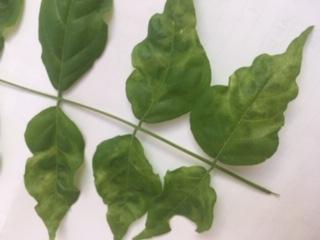 Wisteria leaves with virus markings