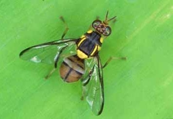 Oriental fruit fly adult. [Credit: County of San Diego]
