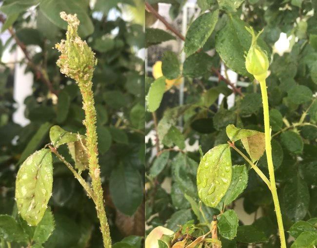 Before and after hosing aphids off with water. [Credit: K. Windbiel-Rojas]