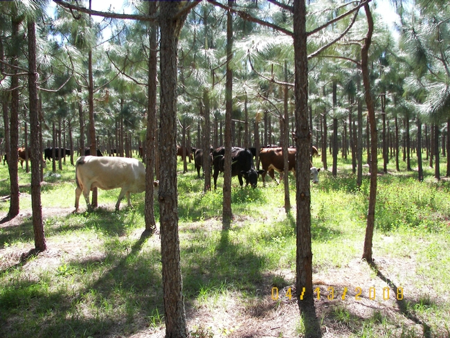 Example of silvopasture. Photo credit National Agroforestry Center.