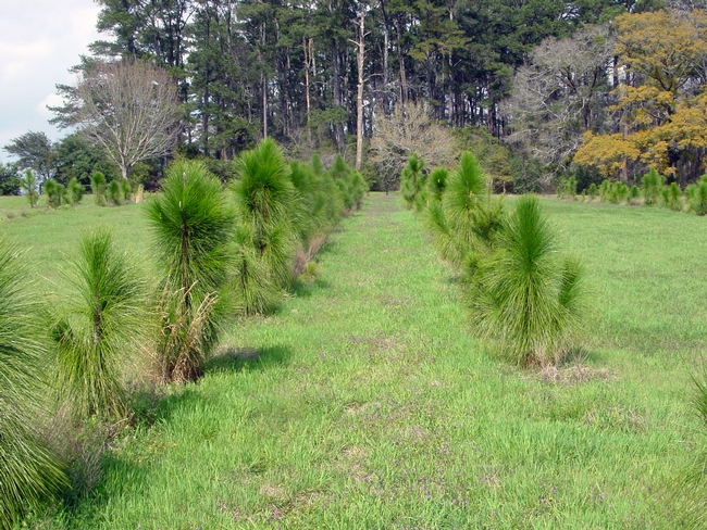 Plantings of trees as an example of silvopasture. Photo credit National Agroforestry Center.