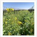 Figure 1: Happy bees and the cover crops. Photo by Samikshya Budhathoki.
