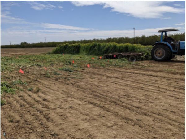 5 different cover crop mixes were terminated in Shafter on March 18, 2021 using a disc harrow.