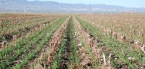 Cover crop growing in cotton and tomato residues. for Conservation Agriculture Blog