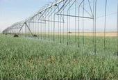 Fresh market onions growing under overhead mechanized irrigation in Five Points, CA.