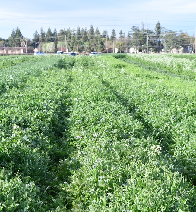 Some of the diverse cover crop mixes in Anil Shrestha's roller/crimper study at Fresno State as part of the CIG organic reduced disturbance project