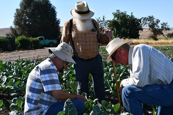 Rick Reed (left), Tom Willey (center) and Phil Foster (right) examining soil and residue in reduced disturbance cauliflower field at Pinnacle Farms in Hollister, CA