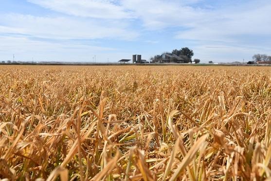Wheat cover crop burned down at Mendota, CA farm of Gary and Mari Martin, March 4, 2019