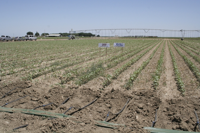 Drip-irrigated conservation tillage plots will be managed side-by-side with overhead-irrigated plots.