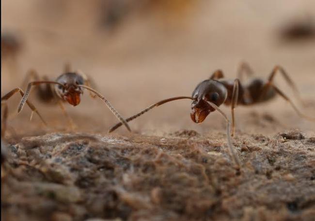Argentine ant photo