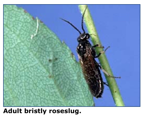 bristly roseslug adult