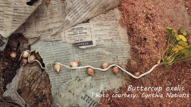 Buttercup oxalis