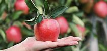 Apple for The Coastal Gardener Blog