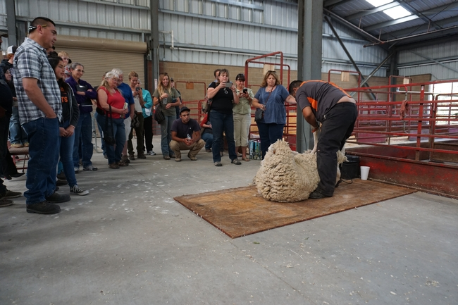 The workshop also included a sheep sheering demonstration.