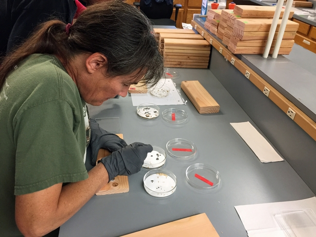 Kathleen Campbell, a research staff associate in the Choe laboratory at UC Riverside, selects pseudergates, the pale, wingless, worker stage of the western drywood termites.