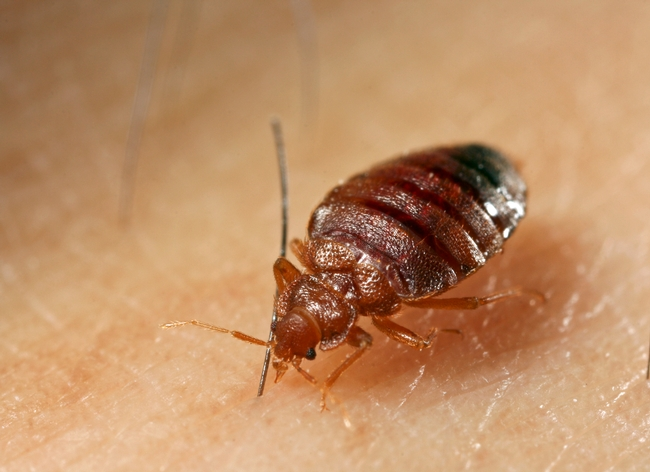 Adult bed bugs are oval, wingless, about 1/5 inch long, and rusty red or mahogany in color. Photo by Dong-Hwan Choe