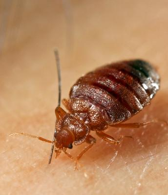 Californians get advice to stop bed bugs