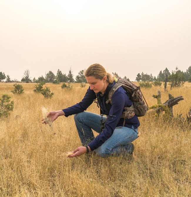 UCCE Modoc County director Laura Snell looks for African wire grass