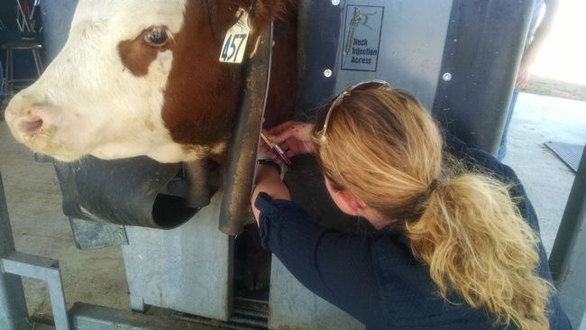 Laura Snell takes blood samples from cattle to test for micronutrient deficiencies