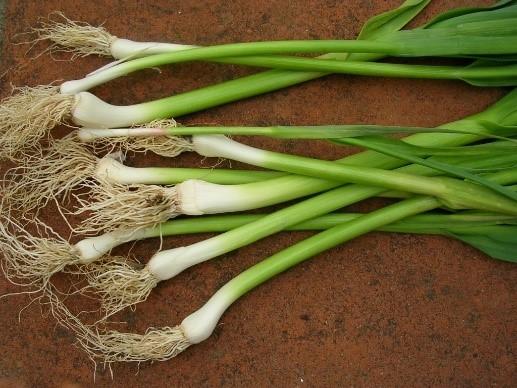grn garlic