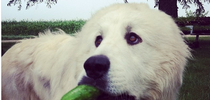 dog with cuke for Eat Local Placer Nevada Blog